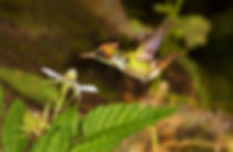 Lophornis magnificus (macho), um beija-flor muito pequeno pesando 3 g, possui bico curto. Isso pode dificultar ele se alimentar eficientemente em flores grandes e por isso escolhe as menores. Frequentemente esta espécie é vista em flores típicas de insetos. Na foto, a flor de Rubus rosifolius (Rosaceae), um arbusto que produz pequenos frutos vermelhos conhecidos como framboesas.