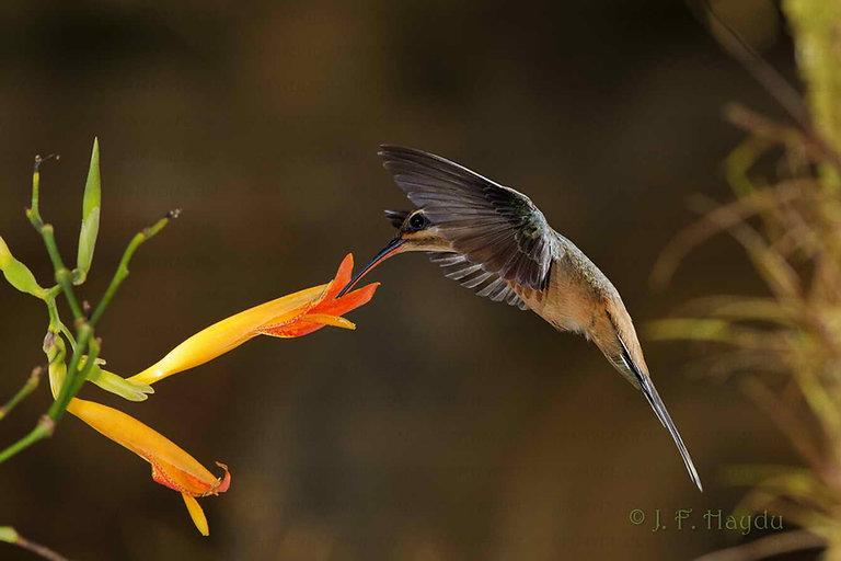 Phaethornis pretrei na flor da Canna limbata(Cannaceae). Na maioria das vezes é assim que imaginamos que um beija-flor se alimenta.