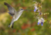 Na asa em primeiro plano, nota-se que a pena de posição 4 está duplicada, o que indica uma substituição em curso. O processo ocorre paralelamente para que não haja uma perda significativa na aerodinâmica do voo. O beija-flor é um exemplar de Heliomaster squamosus (fêmea) nas flores de Clerodendrum ugandense (Lamiaceae).