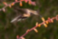 Phaethornis pretrei à esquerdacom a pele da garganta à mostra,parece ter sido atacado por um predador. Felizmente não foi isso que ocorreu e é apenas uma fase da sua muda anual.  As flores são da Dyckia pseudococcinea (Bromeliaceae).