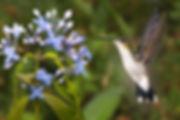 Thalurania furcata balzani (PA)_123A9958