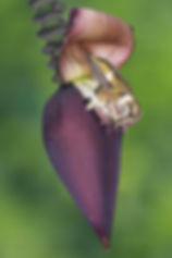 Em algumas ocasiões pode parecer que não existe nada além das flores, mas um olhar atento revela o pequeno Calliphlox amethystina. Quando a flor tem uma estrutura que permite o pouso, o beija-flor aproveita a facilidade. Isso economiza suas reservas de energia e disfarça sua presença aos competidores que estão por perto.  Beija-flores gostam de ficarpousados e o fazem sempre que podem.  As flores são de Musa acuminata (Musaceae), uma espécie de bananeira.