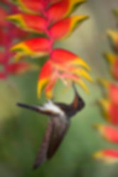 Embora não tenha um bico curvado como Phaethornis sp. ou Glaucis hirsutus,o beija-florFlorisuga fusca pode executar malabarismos e conseguir se alimentar nas flores da Heliconia rostrata. Talvez esse tipo de flor não seja a sua primeira escolha, mas o mundo natural é assim mesmo. Desafios surgem a todo momento e aqueles que melhor se adaptam, tem mais chances de sobreviver.  No ambiente de um jardim, cenas como esta não são raras, pois várias espécies de beija-flores estarão em contato com muitas espécies de plantas. Os beija-flores também aprendem a procurar flores por imitação. Numa situação hipotética, se um beija-flor de bico curto e reto observar outro beija-flor de bico curvo e longo alimentando-se seguidamente em flores como as de Heliconias, é provável que ele venha imitar estecomportamento.  É assim que os beija-flores aprendem a frequentar bebedouros de água açucarada. Nos primeiros dias apenas um ou dois beija-flores aparecem. Emmais alguns dias serão vários e se a reg