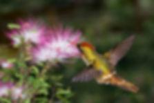 Lophornis magnificus (macho) em um ramo florido daCalliandra surinamensis (Fabaceae), arbusto de médio porte e que produz intensas floradas. Para nós as flores são muito parecidas, mas os beija-flores as distinguem bem umas das outras.