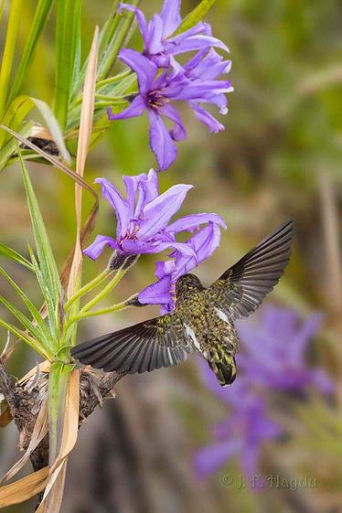 AVellozia flavicans (Velloziaceae) ou Canela-de-ema enfeita as encostas pedregosas e resiste até aos incêndios florestais. O visitante é um Anthracotorax nigricolis.