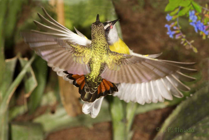 Glaucis hirsutus, em primeiro plano, defendendo seu território contra uma Cambacica (Coereba flaveola). Estas, sempre estão presentes onde existem bebedouros de água açucarada. As disputas com beija-flores são raras e quando acontecem, geralmente são as Cambacicas que levam a pior. Os beija-flores são muito mais rápidos e agressivos.