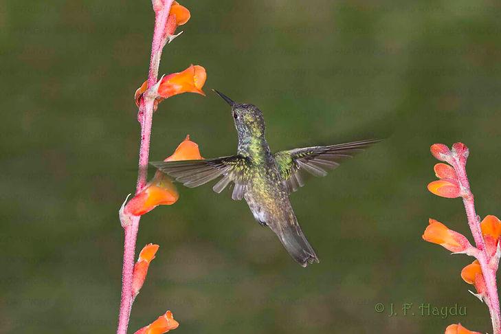 """Amazilia versicolor e as flores da Dyckia pseudococcinea (Bromeliaceae). Notam-se nas asas as lacunas deixadas pelas penas em fase de substituição. Isso ocorre de forma igual nas duas asas, de modo que o desempenho de voo não fique muito prejudicado. Caso as """"falhas"""" ficassem apenas em uma das asas a ave ficaria desequilibrada."""