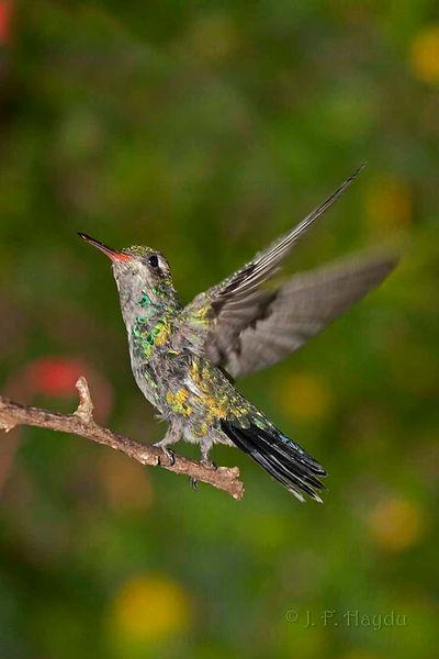 Esse exemplar jovem de Chlorostilbon lucidus (macho) está adquirindo uma nova plumagem devido a estar entrando na sua fase de maturidade. Essa é a primeira troca de plumagem que ocorre nos beija-flores.