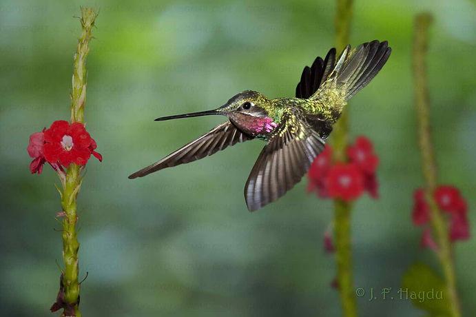 Heliomaster squamosus (macho), voa para baixo e usa sua cauda para estabilizar a parada, ficando ao nível das flores daStachytarpheta mutabilis (Verbenaceae).