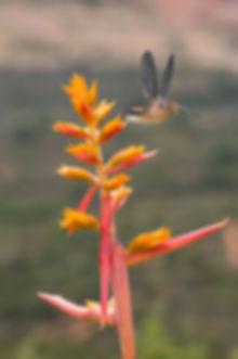 Em contraste com uma vegetação quase seca, as flores da Aechmea aquilega (Bromeliacea) não parecem pertencer ao lugar. Logo conseguem a companhia constante do pequeno Phaethornis ruber.