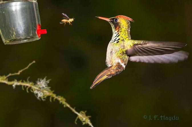 Lophornis magnificus- macho, esquivando-se do assédio de uma vespa. Bebedouros com um único orifício de alimentação provocam mais respostas agressivas desses insetos por razões obvias. Quando o bebedouro possui mais orifícios, o inseto instala-se em um e o beija-flor vai para outro automaticamente, a não ser que os insetos sejam muitos.