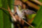 À esquerda, o macho de Thalurania glaucopis está desenvolvendo sua plumagem iridescente.Acima, na asa direita da fêmeapodemos notar algumas penas se desenvolvendo em paralelo com as antigas e a formação de um bulbo na parte superior.