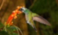 O mesmoAmazilia versicolorleucístico, libando o néctar da Pyrostegia venusta (Bignoniaceae), também conhecida por Cipó-de-São-João, planta trepadeira silvestre que floresce nos meses de junho a agosto, comum às margens de estradas rurais.