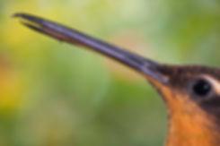 """Ramphodon naevius(macho) e as flores daAloe barbadensis (Asphodelaceae), muito cultivada em todo o Brasil.    Este beija-flor que vive nas áreas litorâneas de muitos estados brasileiros, possui um bico com uma singularidade digna de nota. No macho, a ponta do bico possui uma curvatura acentuada que se parece com um gancho. Um pouco atrás, tanto a mandíbula como maxila possuem um serrilhado que se assemelha com """"dentes"""" e que se encaixam com o bico fechado. Veja este detalhe na figura abaixo.  Acredita-se, nos meios científicos, que esse beija-flor muito se assemelharia em características a um hipotético beija-flor """"ancestral"""", aquele que estaria no início da cadeia evolucionária dessas aves e o gancho e """"dentes"""" seriam resquícios evolucionários. Já observei esta espécie apanhando insetos capturados em teias de aranha ou retirando-os das frestas de madeira de uma parede. Nesse último caso, o formato do bico parece proporcionar uma vantagem adicional e o serrilhado certamente prende m"""