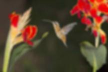 Phaethornis pretrei praticamente sem cauda, devido a muda. Nessa fase, esse beija-flor fica com certo comprometimento de estabilidade no voo. As flores são de Canna indica (Cannaceae).