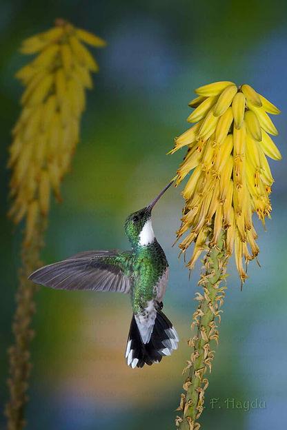 """Leucochloris albicollis faz voos de vaivém verticalmente, para introduzir seu bico nas flores de Aloe barbadensis(Asphodelaceae).  A planta também conhecida popularmente por """"babosa"""" é de origem Africana e cultivada a séculos pelas suas propriedades medicinais."""