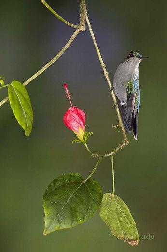 Thalurania glaucopis, macho à esquerda e fêmea à direita. Esta está pousada em um ramo florido de Malvaviscus drummondii (Malvaceae). Essa espécie de beija-flor é típica de áreas litorâneas da Mata Atlântica, mas desde o ano de 2005 eu a avisto regularmente no nosso jardim.