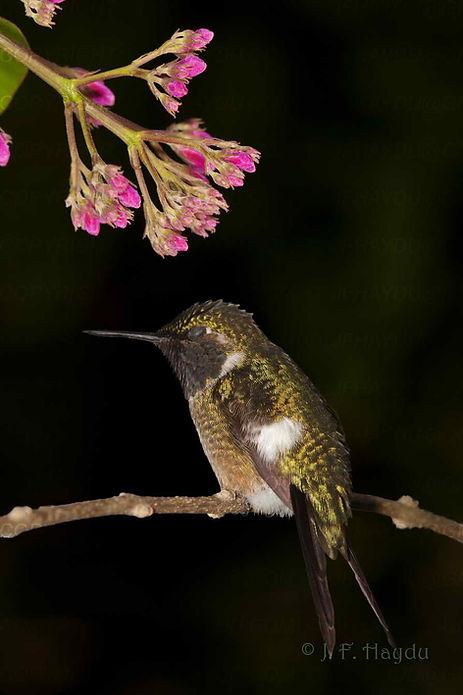 """Beija-flores dormem a noite e também """"tiram cochilos"""" durante o dia. Precisam repor as energias."""