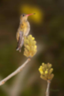Os belos cachos de Tabebuia ochracea (Bignoniaceae, também conhecido por Ipê-amarelo-do-cerrado ainda não abriram suas flores. O beija-flor-dourado (Hylocharis chrysura) parece aguardar o momento.