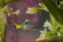 Anthracotorax nigricolis (macho) possui bico médio e levemente encurvado como a grande maioria dos beija-flores. Esta espécie é encontrada em toda a América do Sul e alimenta-se em muitas formas de flores. Talvez o formato do seu bico também  seja responsável por essa adaptação tão ampla. As flores são do mamoeiro (Carica papaya - Caricaceae). A planta é originária da América Central.