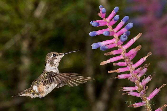 Também é chegada a vez desta fêmea de Calliphlox amethystina mudar sua plumagem. Por todo o corpo vemos esses sinais, especialmente nas asas, onde comparadas a da esquerda com a da direita, vemos uma simetria no comprimento das plumas. Se não fosse assim, a ave ficaria desequilibrada em voo.  As flores são de Aechmea gamosepala (Bromeliaceae).