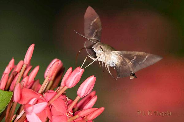 A mariposa Aellopos titan na flor da Ixora coccínea (Rubiaceae)