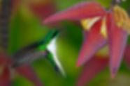 Heliotrix auritus_123A1476 Musa sapientu