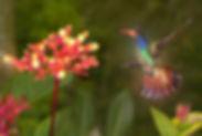 Hylocharis sapphirina_123A0323 (Palicour
