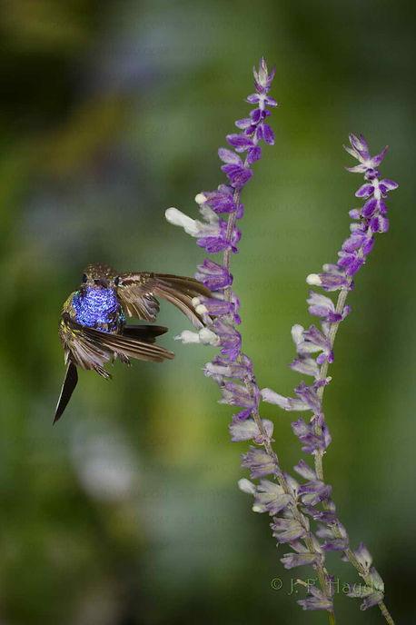 Amazilia lactea e as flores da Salvia farinacea (Lamiaceae). Nota-se pela posição das asas que esta ave está voando para um dos lados. Esta é uma das manobras que provavelmente só os beija-flores conseguem executar. A planta é nativa do Arizona - EUA e muito usada em jardinagem.