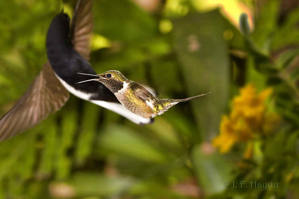 Nestas duas imagens, um valente exemplar de Calliphlox amethystina (macho), que apesar do seu tamanho diminuto, resiste e defende seu território contra um Florisuga fusca, adversário bem maior. As flores amarelas são da Tecoma stans (Bignoniaceae).