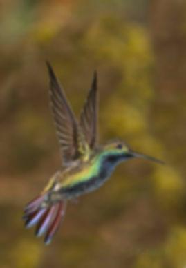 Anthracotorax nigricolis - macho
