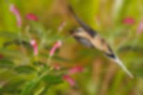 Phaethornis pretrei é outro beija-flor de bico longo e curvo. A flor de Centropogum cornutus (Campanulaceae) parece se ajustar como uma luva a ele. Os beija-flores do gênero Phaethornis percorrem rotas habituais dentro das matas, com vários pontos de alimentação. Eles conhecem esses pontos, que são aglomerações de plantas floridas e as visitam em intervalos regulares.