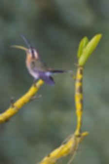 À esquerda, o ramo de uma orquídea serve de palco para o minúsculo Phaethornis idaliae protestar contra a invasão de seu território. Pesando pouco mais de 2g este pequeno é um lutador obstinado.