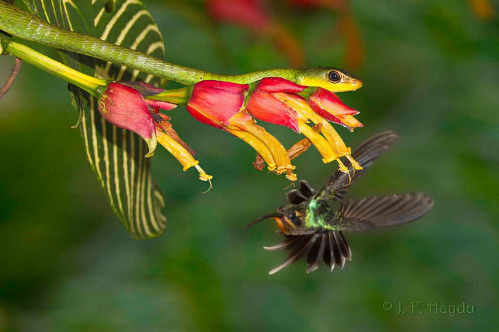 Serpentes arborícolas  como a  Chironius exoletus  predam pequenas aves também. O beija-flor Phaethornis guy  está alerta e alvoroçado e assim o predador não tem muita chance. Porém a serpente é paciente e aguardará uma presa mais incauta. As flores são da Sanchezia speciosa-Acanthaceae.