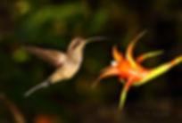 Phaethornis eurynome e a flor da bromélia Canistropsis billbergioides (Bromeliaceae). Esse beija-flor parecia saber quanto tempo essa bromélia levaria para repor o estoque de néctar. Veja no texto.