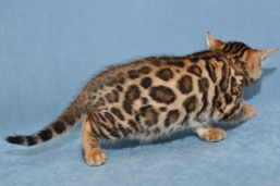 bengal a rosettes