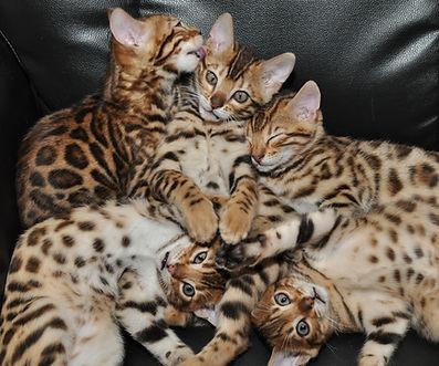 Adopt a bengal kitten