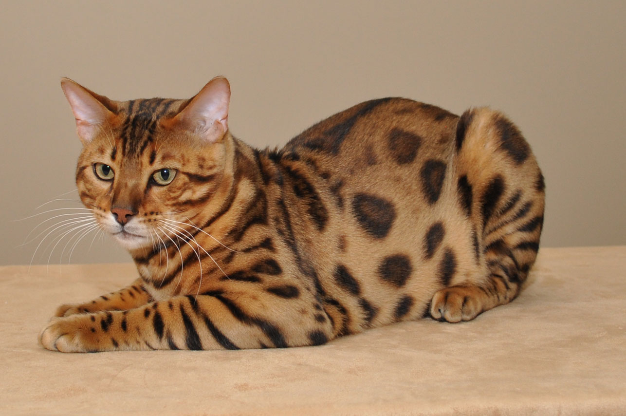 chatterie bengal champion