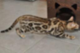 golden bengal cat