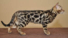 Bengal qualite reproduction exposition