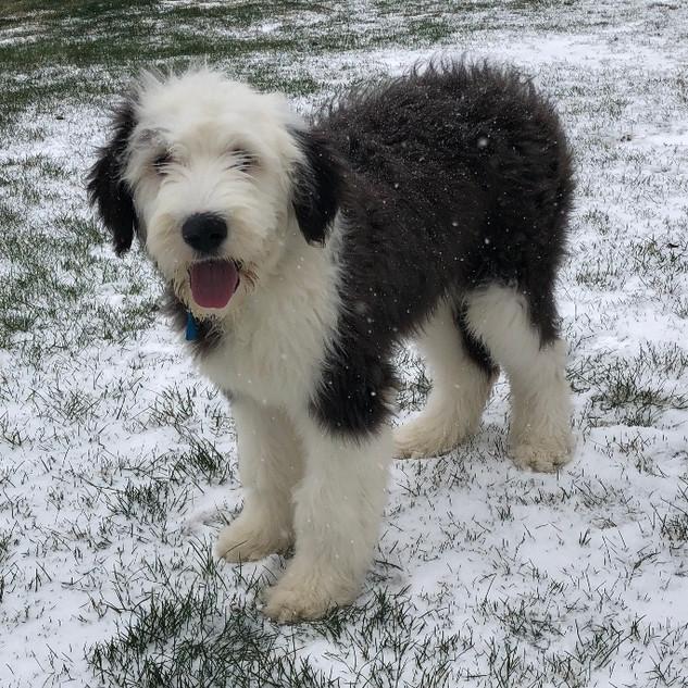 Winston loves the snow