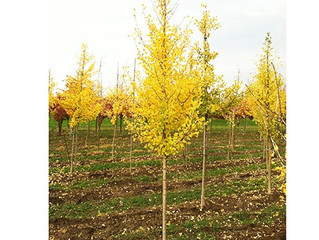 Autumn Gold Ginkgo Tree from Story Landscaping