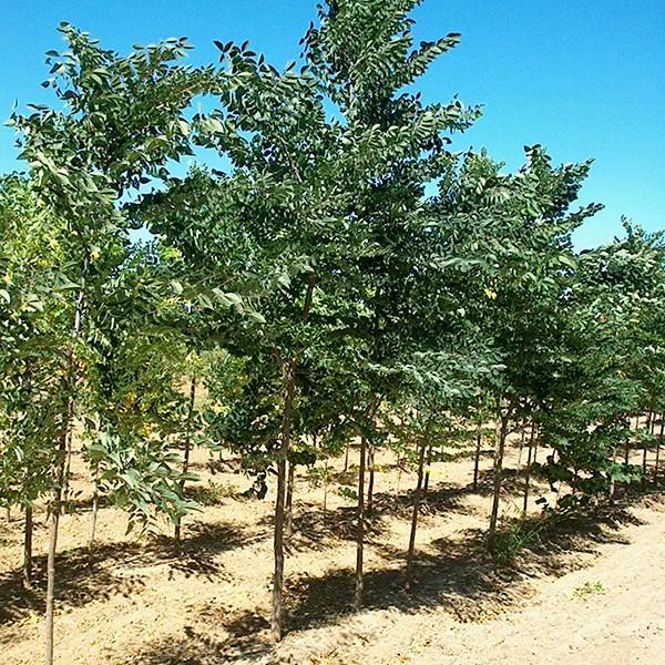 Seedless Coffee Tree