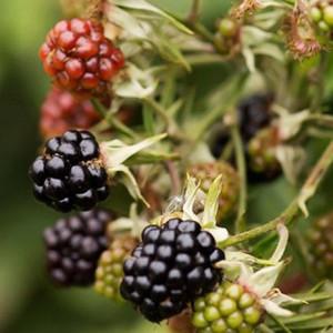 Blackberry Bushes