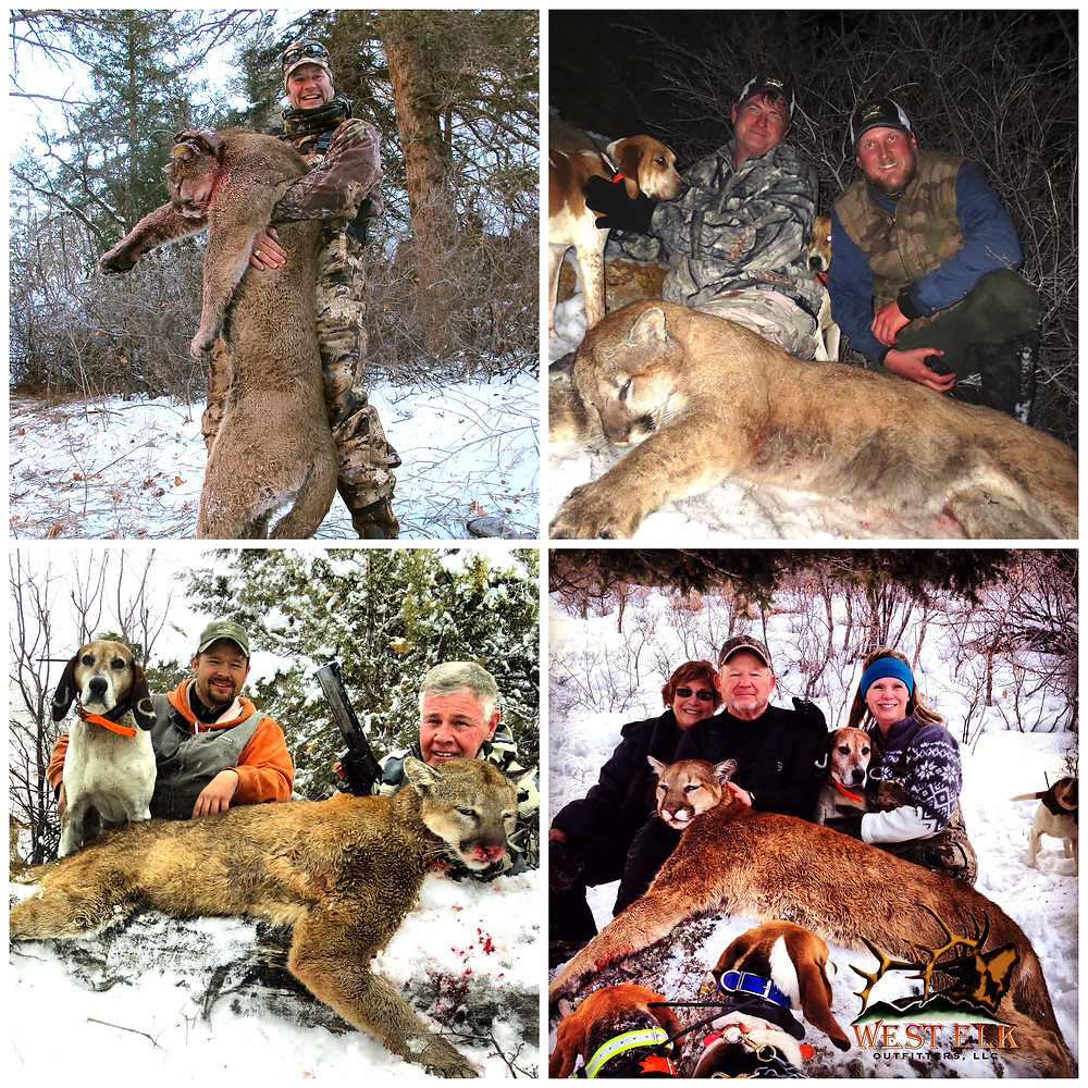 guided mountain lion hunt