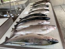 limits of salmon
