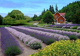 purple haze lavendar farm.jpg