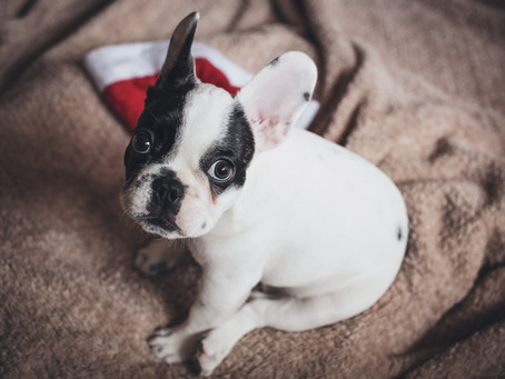 New Puppy at Christmas - How to Make the Right Caring Choice