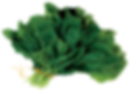 green leaf, vegetable