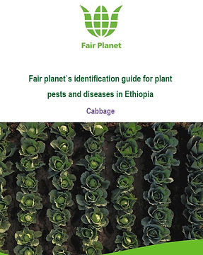 Cabbage pest and disease identification